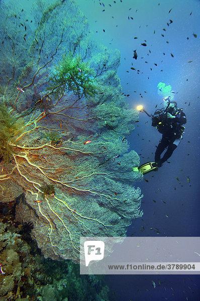 Rotes Meer Hornkoralle  Subergorgia sp mit Taucher