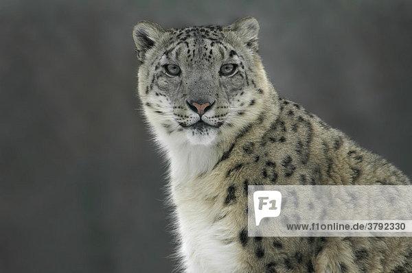Schneeleopard (Uncia uncia)  Porträt