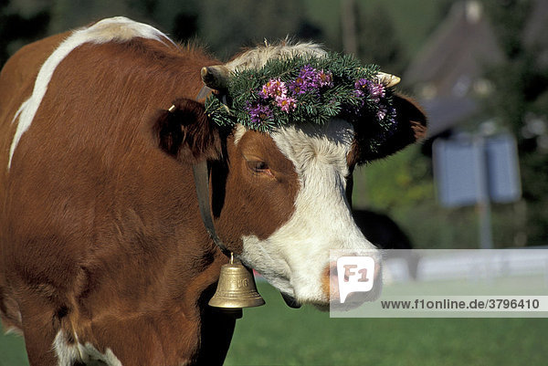 Geschmückte Kuh bei Almabtrieb / Viehabtrieb in Münstertal (Schwarzwald)  Baden-Württemberg Geschmückte Kuh bei Almabtrieb / Viehabtrieb in Münstertal (Schwarzwald), Baden-Württemberg