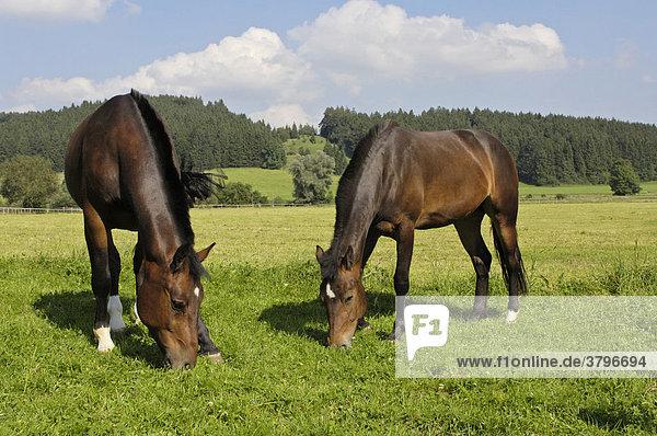 Zwei junge Freiberger Pferde auf der Koppel