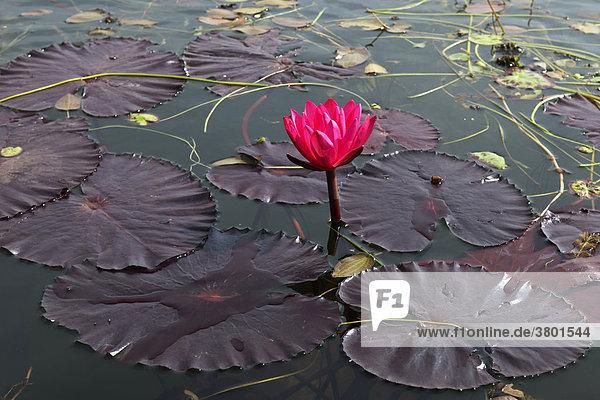 Myanmar  Myanmar  Shan State  Inle-See  Lotus Flower