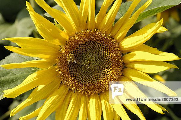 Sonnenblume (Helianthus annuus) mit Biene