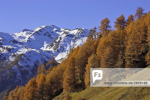 Verschneite berge über dem Rojental und Lärchen (Larix) in herbstlicher Färbung  Bergdorf Rojen (2000m)  Südtirol  Italien