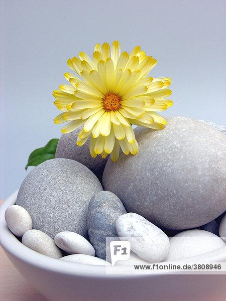 Heilpflanze Ringelblume - Calendula officinalis