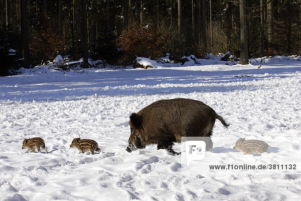 Wild sow with piglets in the snow (Sus scrofa)