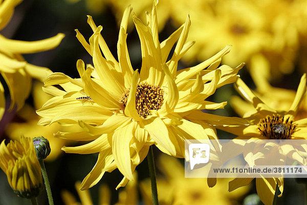 Sonnenblume Sorte Miss Melisch (Helianthus pauciflorus Miss Melisch) auch (Helianthus rigidus Miss Melisch)