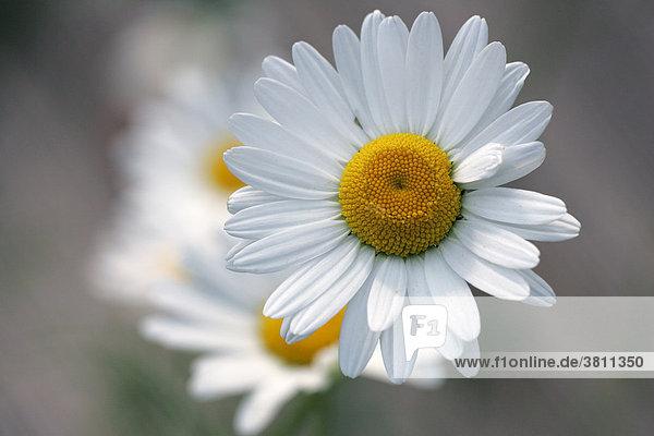 Margeriten - Weisse Wucherblume - Gewöhnliche Wucherblume - Blüten-Nahaufnahme (Leucanthemum vulgaris)