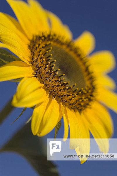 Blooming sunflower (Helianthus annuus)