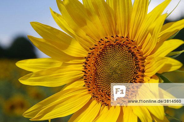 Sonneblumenbluete ohne Insekten