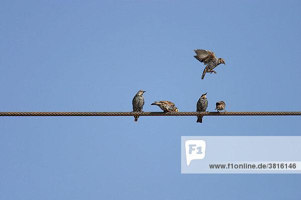 Starlings (Sturnus vulgaris) on a trasmission line