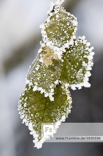 Frosty snow covers leafes
