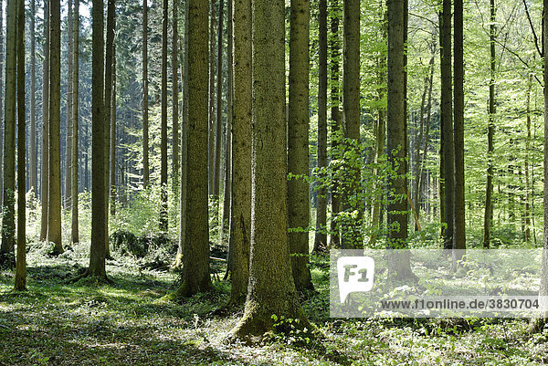 Forest deciduous forest in spring