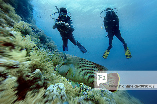 Rotes Meer Napoleonfisch Cheilinus undulatus mit zwei Tauchern