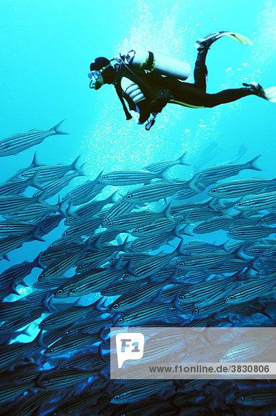Fuesiliere  Galapagos  Wolf Island  Ekuador  Pazifik  COMPOSING: Taucher