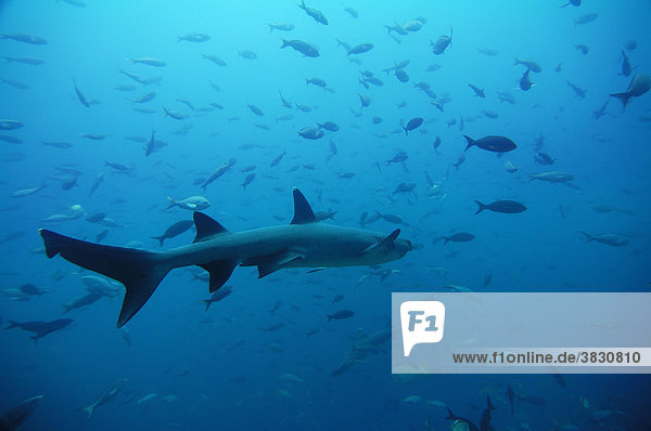 Weisspitzen-Riffhai  Triaenodon-obesus  Galapagos  North-Seymour-Island  Ekuador  Pazifik