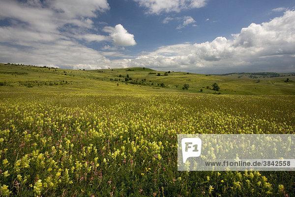 Kleiner Klappertopf (Rhinanthus minor) und Sand-Esparsetten im offen Graslandgebiet  Viscri oder Deutsch-Weißkirch  Siebenbürgen  Rumänien  Europa