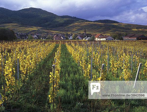 Weinberge bei Wettolsheim in der Nähe von Colmar  Rheintal  Frankreich  Europa
