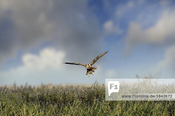 Rohrweihe (Circus aeruginosus)  Weibchen im Flug über Küsten-Röhricht  Norfolk  England  Großbritannien  Europa