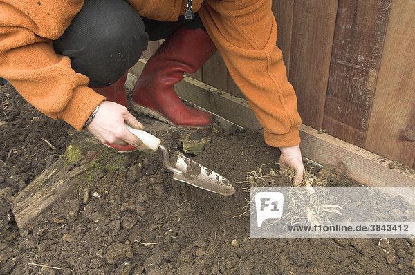 Gärtnerin beim Pflanzen von Echter Salomonssiegel-Knolle (Polygonatum sp.) am Rand des Gartens  Norfolk  England  Großbritannien  Europa