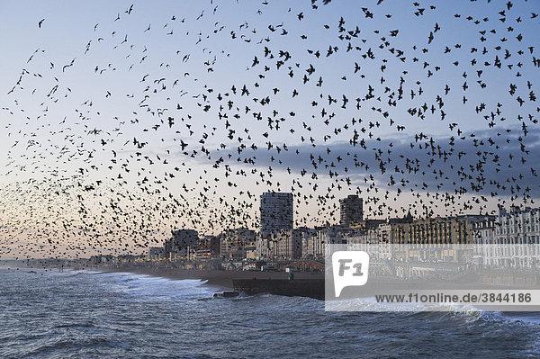 Stare (Sturnus vulgaris)  Schar  im Flug über das Meer  beim Sammeln am Schlafplatz  Brighton  East Sussex  England  Großbritannien  Europa Stare (Sturnus vulgaris), Schar, im Flug über das Meer, beim Sammeln am Schlafplatz, Brighton, East Sussex, England, Großbritannien, Europa