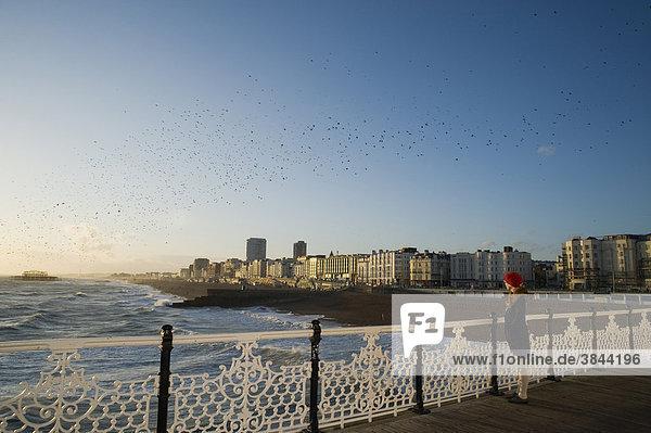 Stare (Sturnus vulgaris)  Schar  im Flug über das Meer  beim Sammeln am Schlafplatz  Brighton Pier  Brighton  East Sussex  England  Großbritannien  Europa