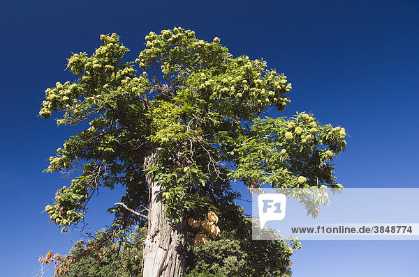 Alter Kastanienbaum bei Murato  Nebbio  Insel Korsika  Frankreich  Europa