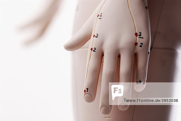Anatomisches Modell  Hand mit Akupunkturpunkten