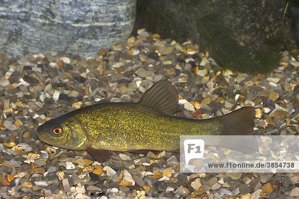 Schleie oder Schlei (Tinca tinca)  junger Fisch ruht sich auf Schotter aus  Norfolk  England  Großbritannien  Europa