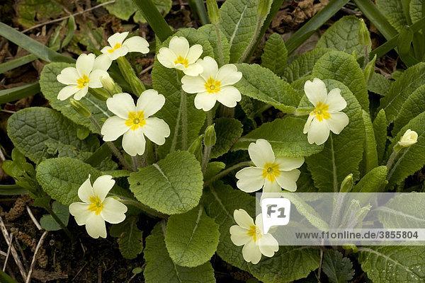Stängellose Schlüsselblume (Primula vulgaris)  Nahaufnahme  im Wald  England  Großbritannien  Europa