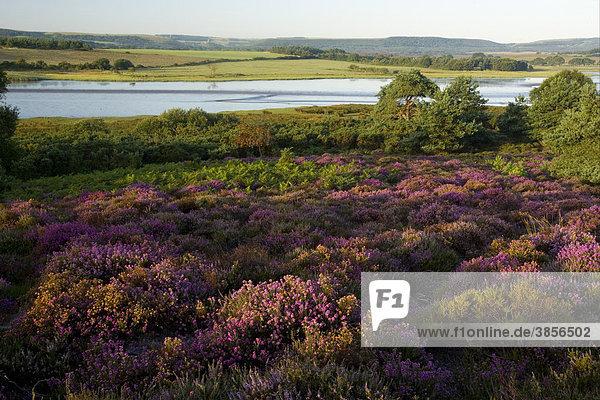 Tiefland oder Heideland-Habitat in Blüte  Arne Vogelschutz Reservat  RSPB Reserve  Poole Harbour  Arne  Purbeck  Dorset  England  Großbritannien  Europa