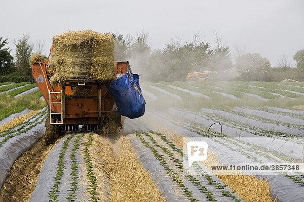 Traktor legt Stroh zwischen Pflanzenbeete  um Früchte schlammfrei zu halten  junge Erdbeerpflanzen Elsanta  jünger als 30 Tage  wachsen in Hochbeeten