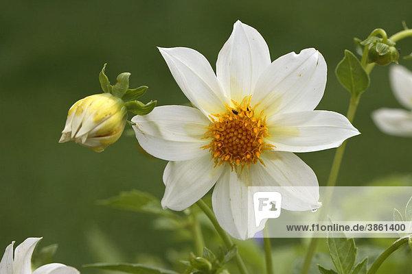 Zwergdahlie (Dahlia variabilis)  Blüte