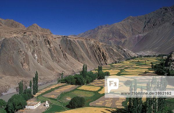 Landschaft bei Alchi  Gerstefelder und Wohnhaus  Ladakh  Himalaya  Jammu und Kaschmir  Nordindien  Asien