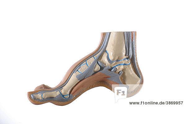anatomisch, Darstellung, des, freigestellt, Füße, Innen, Knochen ...