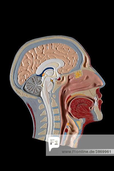 anatomisch, Atemwege, freigestellt, Gehirn, Innen, Köpfe, Körperteil ...