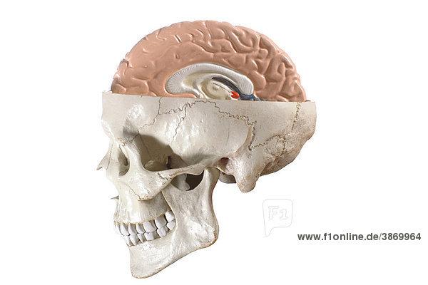 anatomisch, freigestellt, Gebiss, Gehirn, geöffnet, innen, Köpfe ...