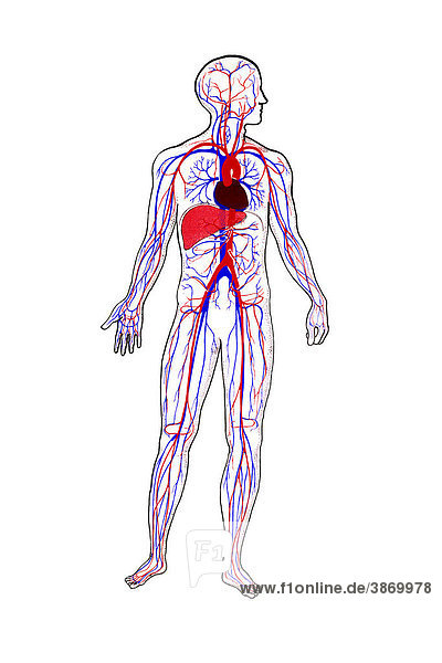 Adern, Anatomie, anatomisch, Arterie, blau, Blut, Blutgefäß ...