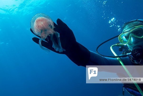 France a scuba diver touching a luminescent jellyfish pelagia noctiluca