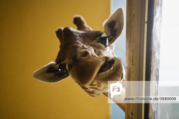 Giraffe macht Gesicht Giraffe macht Gesicht