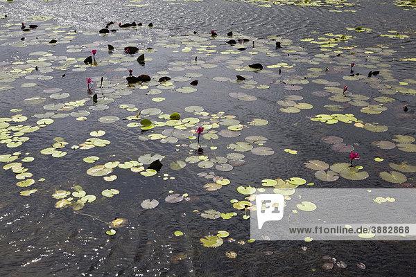 Seerosen auf der Oberfläche eines Sees  Con Son Island  Vietnam