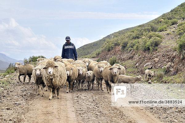 Sheep farming  shepherd with flock  Altiplano Bolivian highland  Oruro Department  Bolivia  South America
