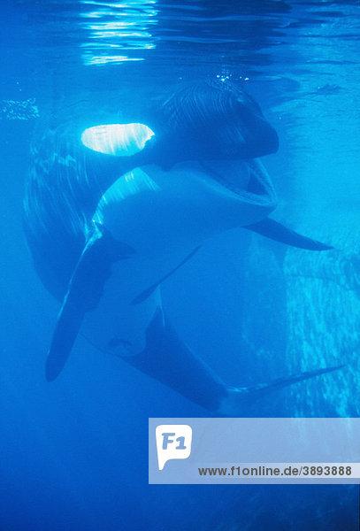 Schwertwal (Orcinus orca)
