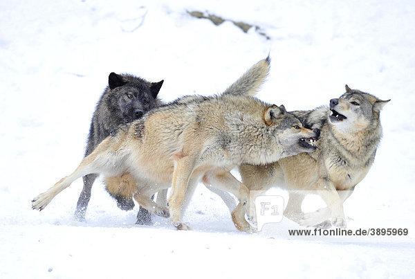 mackenzie wolf kanadischer wolf timberwolf canis lupus occidentalis im