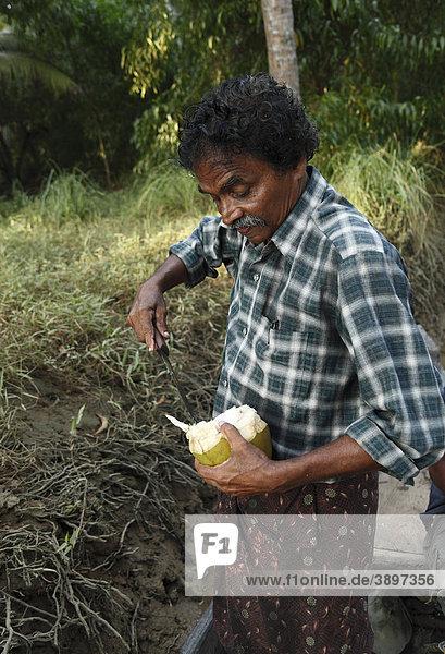 Indischer Mann schneidet Kokosnuss auf  Kerala  Südindien  Indien  Asien