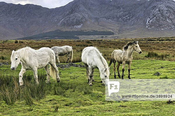 Connemara-Ponys  Inagh Valley  County Galway  Republik Irland  Europa