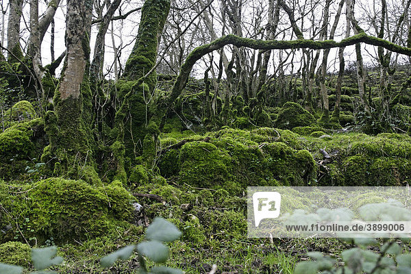 Wald  Moos  The Burren  County Clare  Republik Irland  Europa