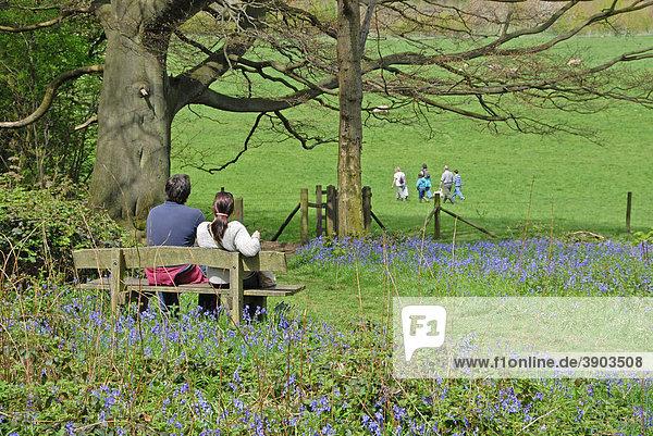 Paar sitzt auf Bank zwischen Glockenblumen  Familie in der Ferne  Frühling  Woodland Trust  Hucking Estate  North Downs  Kent  England  Vereinigtes Königreich  Europa