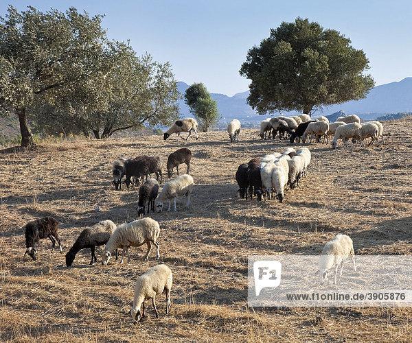 Grazing sheep near Faliraki  Rhodes Island  Greece  Southern Europe  Europe