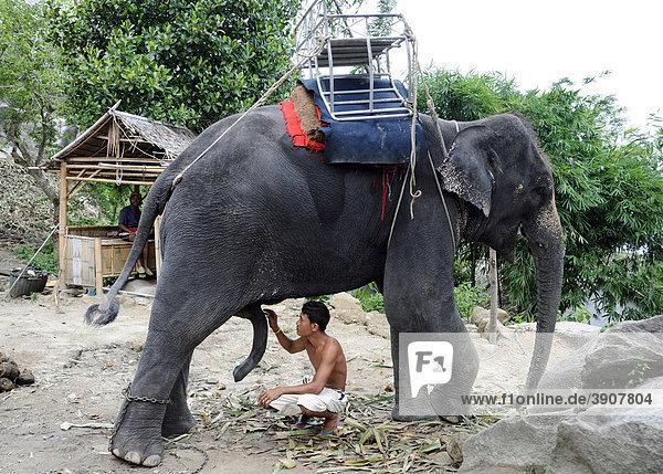 elephant-dick-sucking