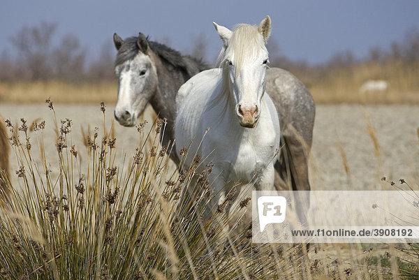 Camargue horses  Camargue  southern France  France  Europe